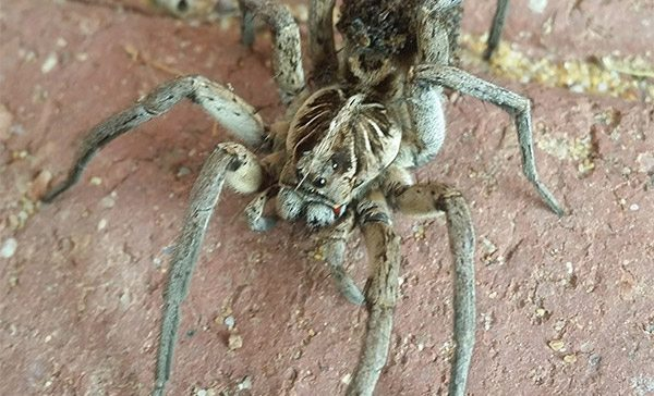 Wolf Spiders on the loose in Pickering Brook!