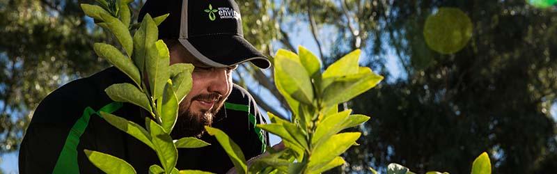 Perth Scale Treatment | Citrus Tree | Envirapest