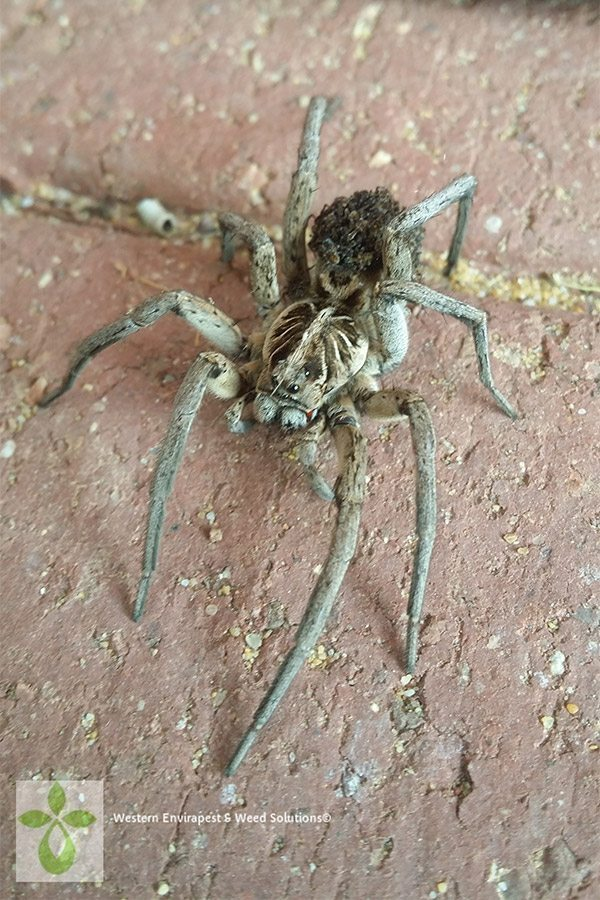 A Huntsman Spider on brick paving at a house in Perth