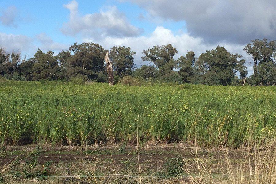 Cotton bush infesting usable pasture land