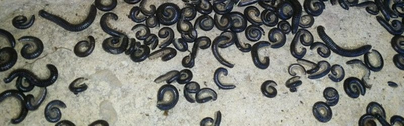 Millipedes are an annoying pest and can be difficult to contain without professional help.