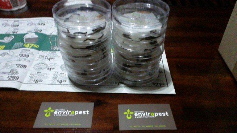 Petri dish testing Nematodes to control Millipedes.