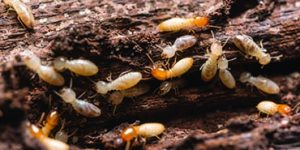 Perth Termites | Termite Protection | White Ant Protection | Envirapest