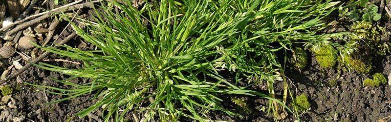 Winter Grass Treatment Perth | Poa Annua | Envirapest