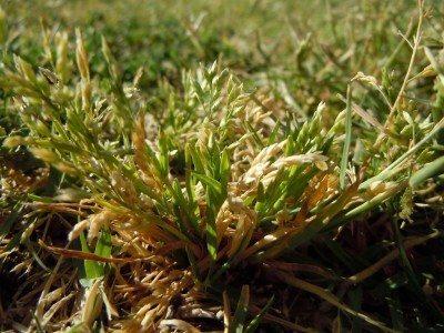 Winter grass Perth | Poa Annua | Envirapest