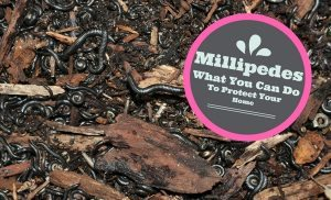 Millipedes | Portugues Millipedes | Nematodes | Millipede Light Traps | Perth Millipedes