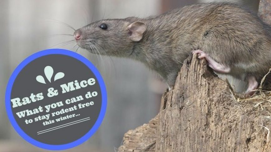 How To Get Rid Of Mice and Rats In Your Home and Garden