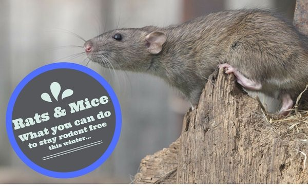 How to get rid of mice and rats in your home and garden envirapest how to get rid of mice and rats in your home and garden ccuart Gallery