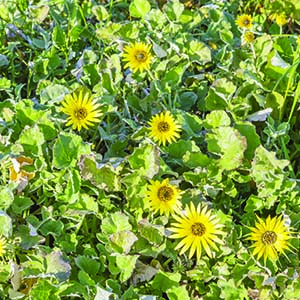 Cape Weed | Toxic Weeds For Horses | Envirapest